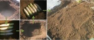 大根の保存方法|食べきれない分を畑に埋めて長期保存