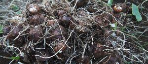 里芋の保存方法|土を厚く盛れば翌年まで、穴に埋めれば春まで保存できる