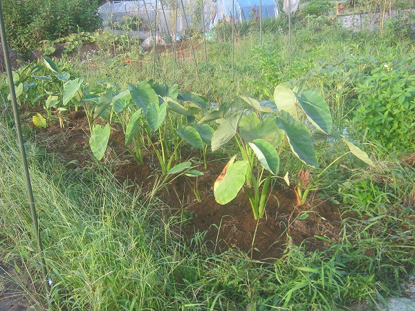 一昨年の収穫前の里芋