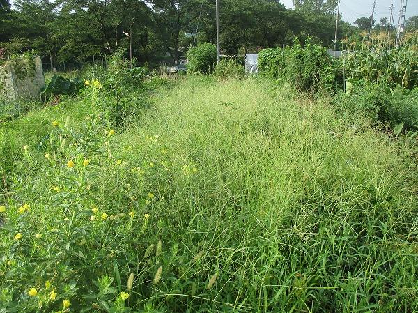 雑草にウリ科の畝が飲み込まれた