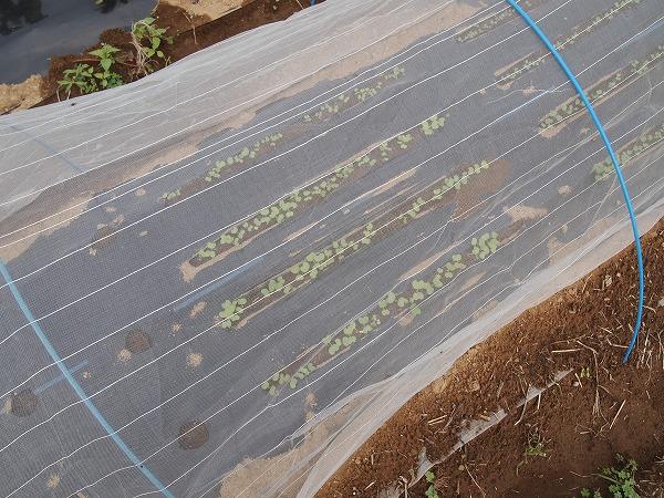 野沢菜が発芽