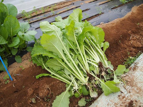 間引き収穫した野沢菜