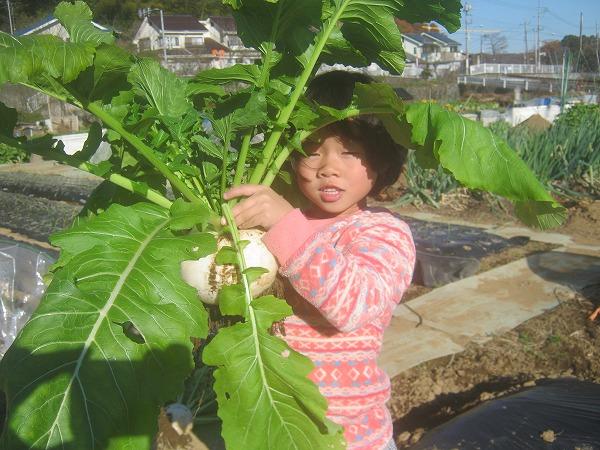 去年に収穫した京千舞