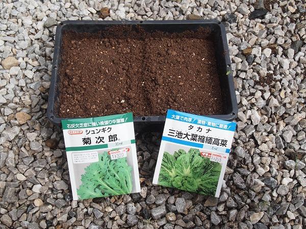 三池大葉縮緬高菜の種まき