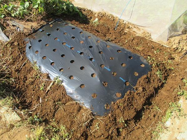 ニンニクを植え付ける畝