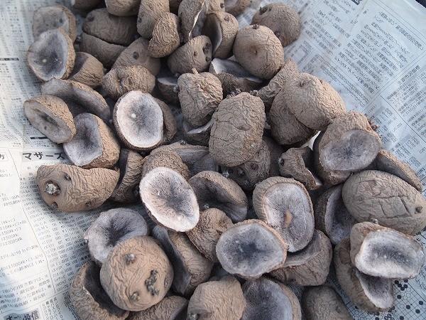 浴光催芽したキタアカリの種芋