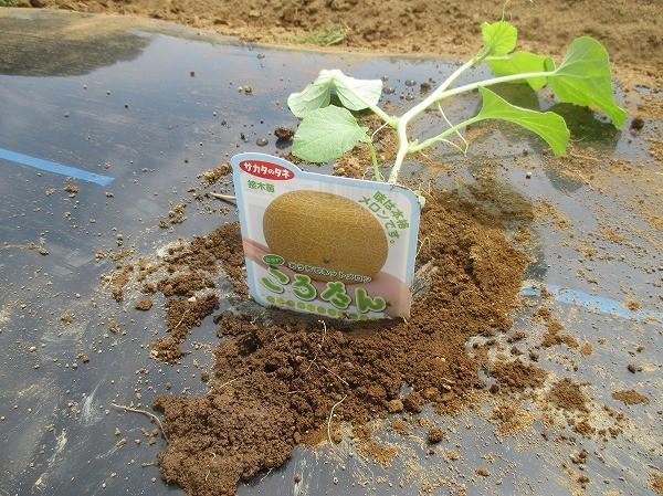 ころたんの苗を植え付けたところ