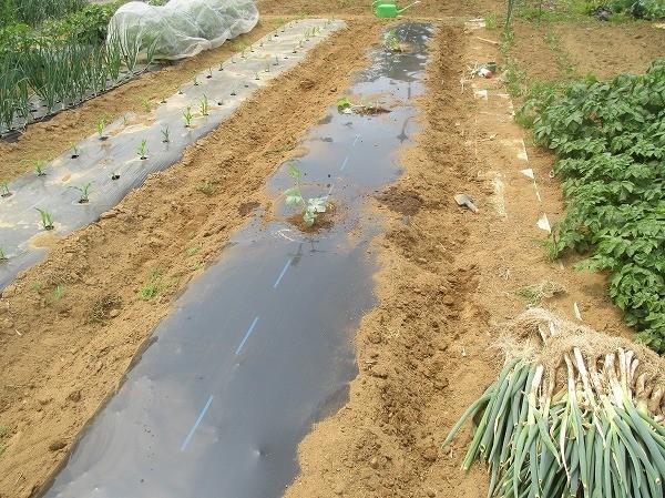 栗坊を植え付けた畝