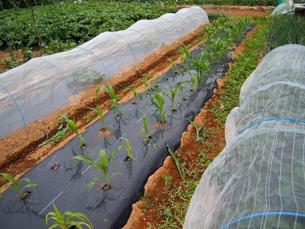 間引きをして追肥をしたトウモロコシ