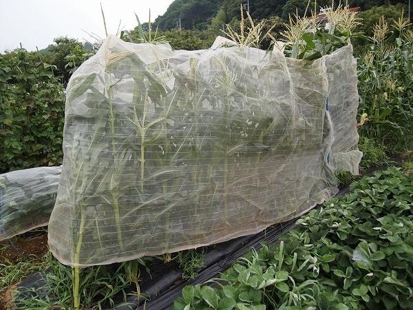 防虫ネットでトウモロコシの畝の半分を囲ってみた