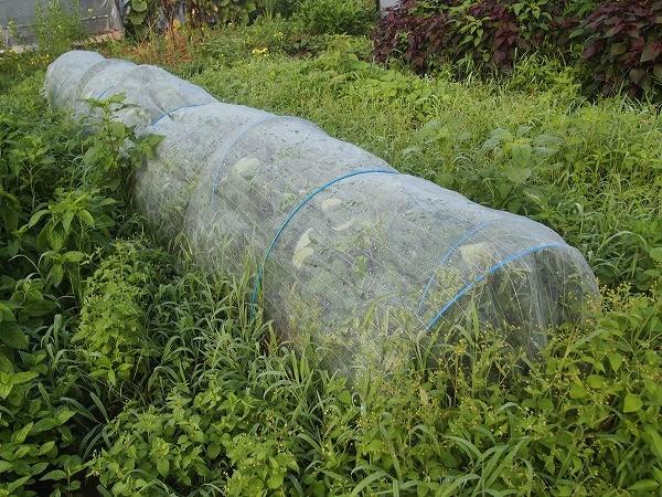 カメムシ対策に防虫ネットをしている鶴の子大豆