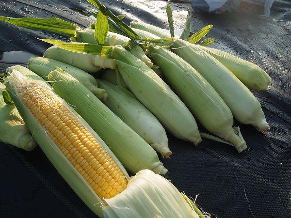 防虫ネットで囲っておいた方のトウモロコシを収穫