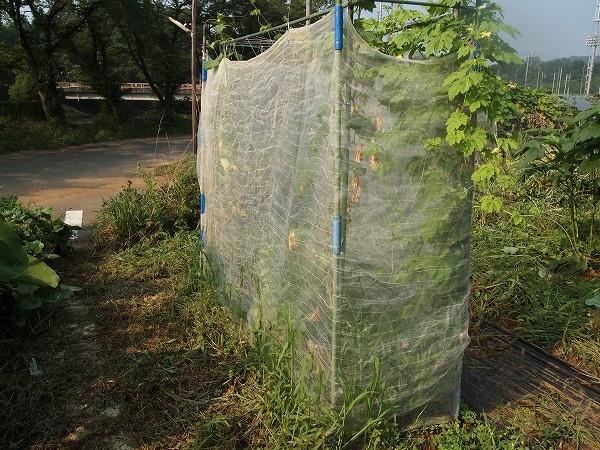 ウリ科を栽培している畝