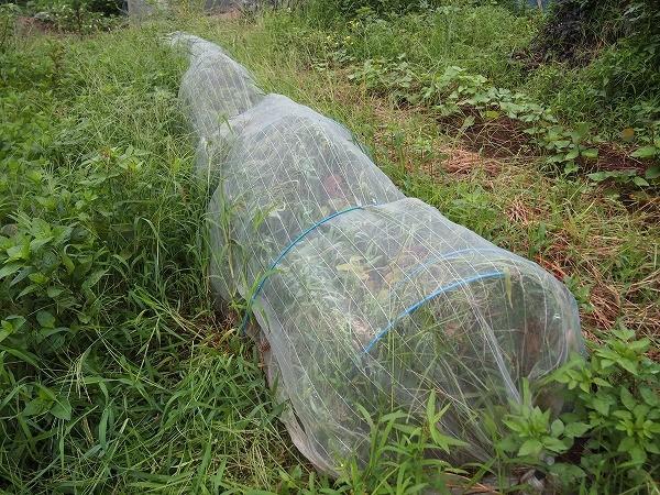 鶴の子大豆の畝