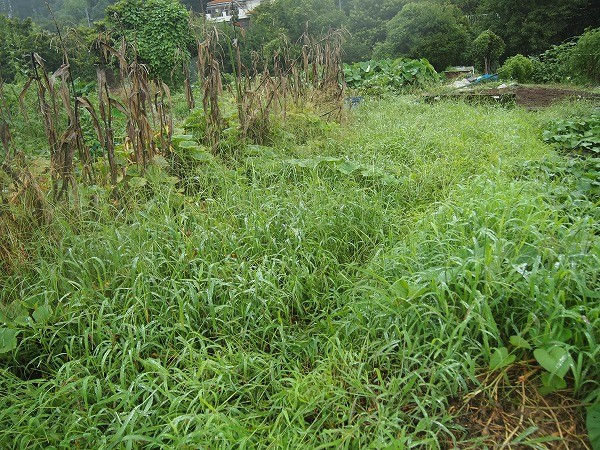 草に埋もれる畝