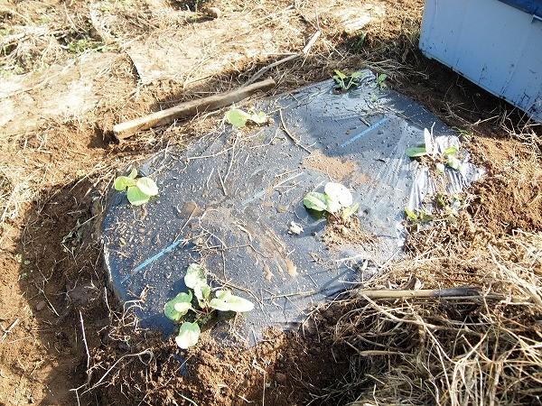 ルバーブの苗を植え付けたところ