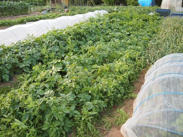 栽培中のジャガイモの「とうや」
