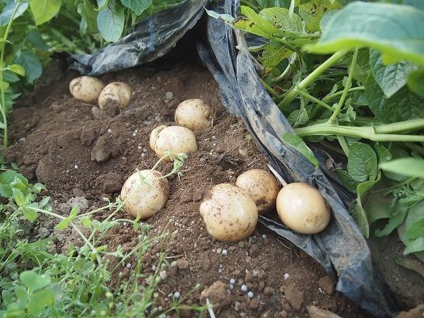 ジャガイモを掘ってみたところ