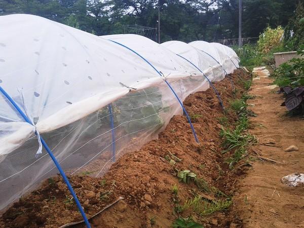 栽培中のメロン