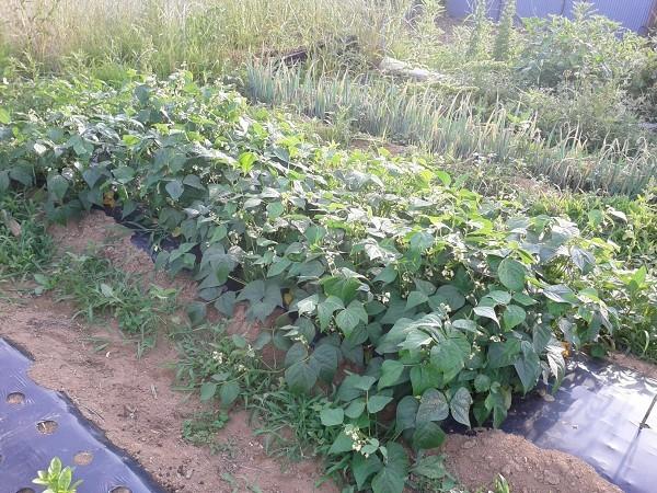 栽培中の蔓なしインゲン