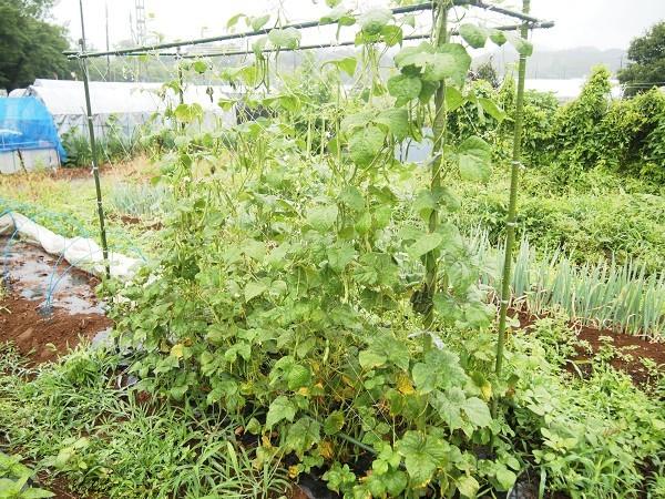 栽培中の蔓ありインゲン