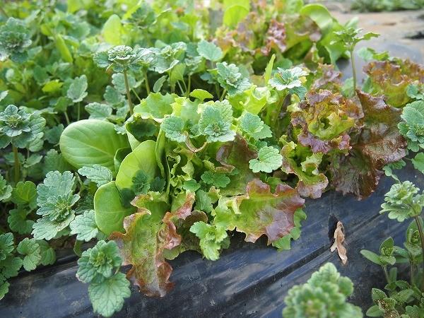 種まきから二か月半のサラダセット