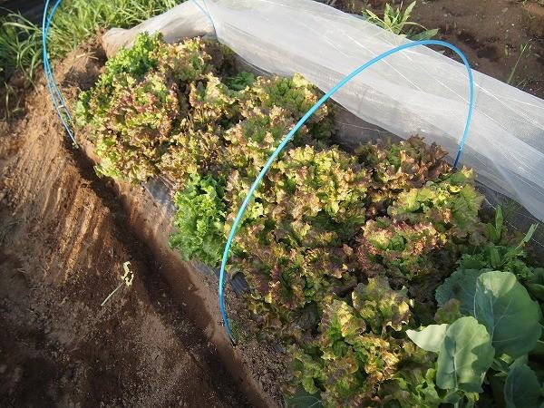 収穫適期のサラダセット