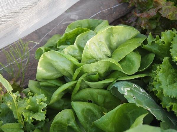 収穫適期のサラダ菜