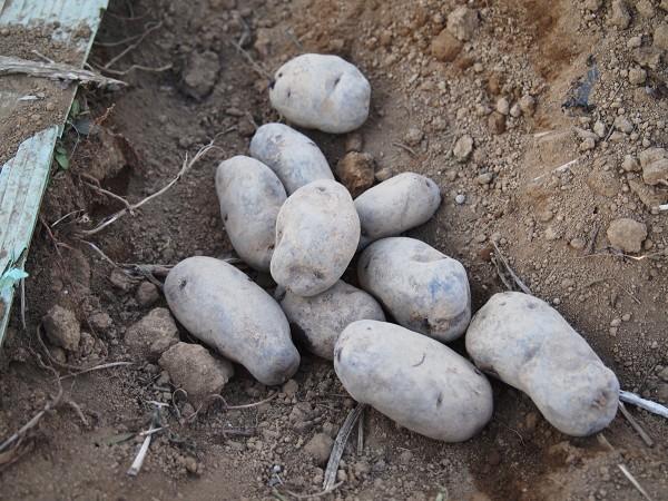 シャドークイーンの種芋