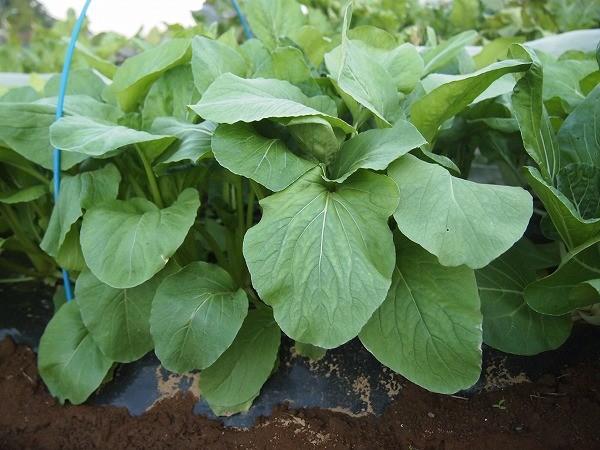 収穫適期のべんり菜