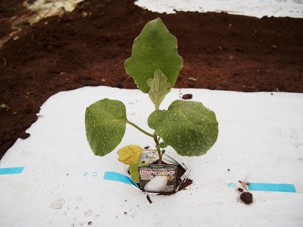 白ナスの揚げてトルコナスを植えたところ