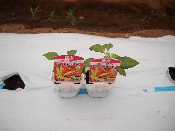 バナナピーマンの苗