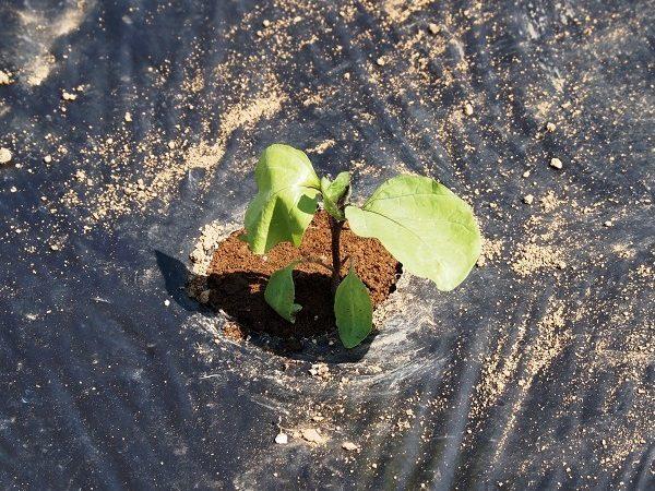 畑に植えつけたナスの苗