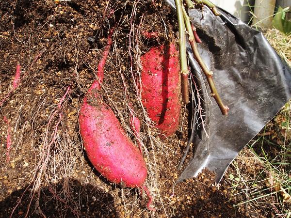 収穫中のサツマイモ