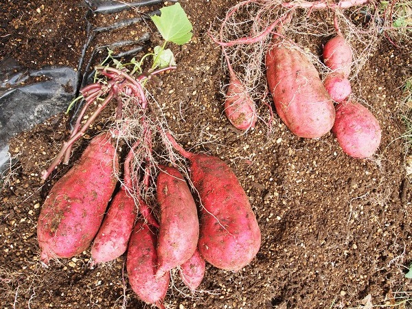 袋栽培で収穫したサツマイモ