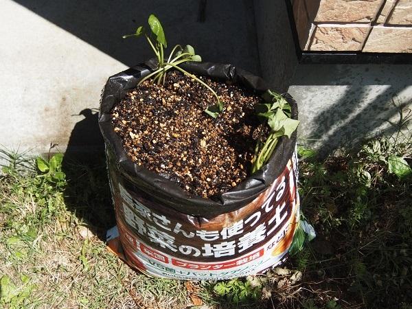 サツマイモの苗の植えつけ