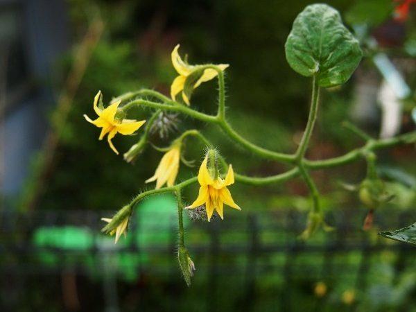 ミニトマトの花