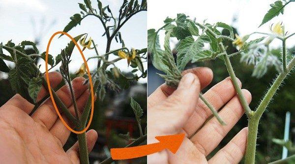 ミニトマトのわき芽かき