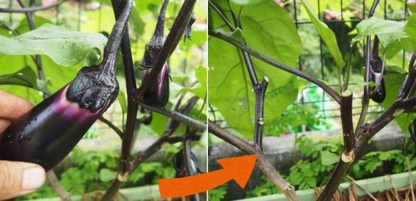 側枝についた実の収穫