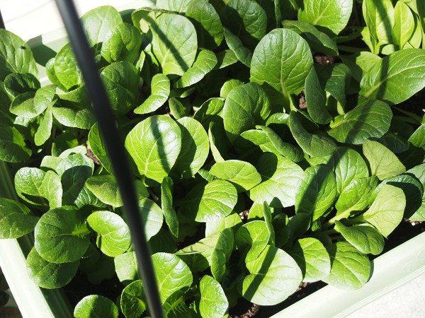 追肥時期の小松菜