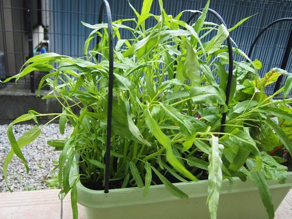 以降の収穫適期の空芯菜