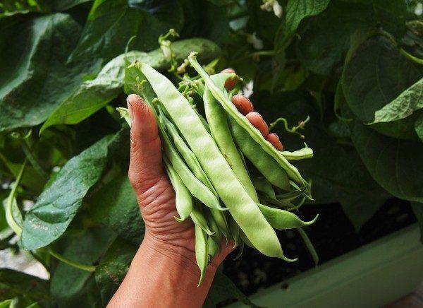 収穫したインゲン