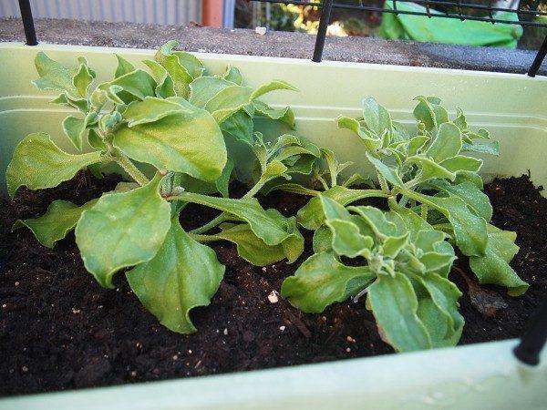 収穫時期のアイスプラント