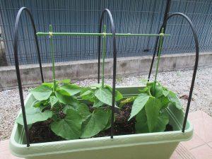 小型の実もの野菜