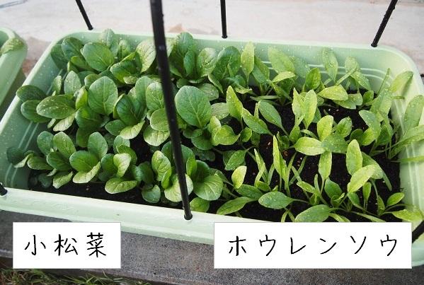 小松菜とホウレンソウの混植(寄せ植え)