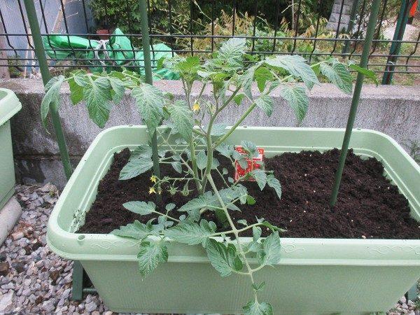 一番下の房に実が2/3程度ついたミニトマト