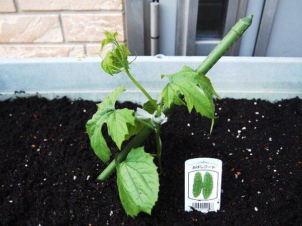 ゴーヤの苗の植えつけ
