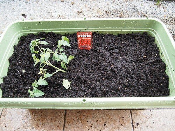 苗を横に寝かせて植える