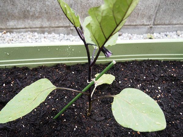 ナスの苗の植えつけ