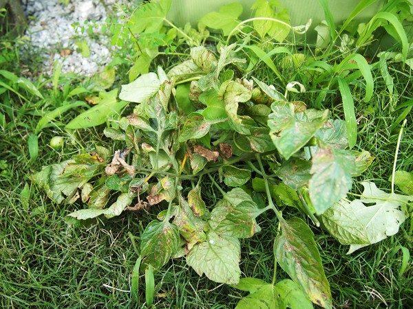 摘葉した葉